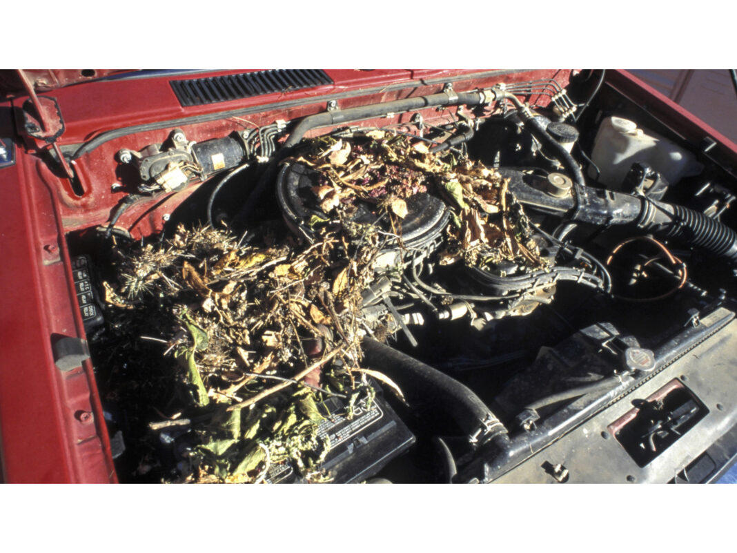 Rats find shelter and feast the wiring in car engines.