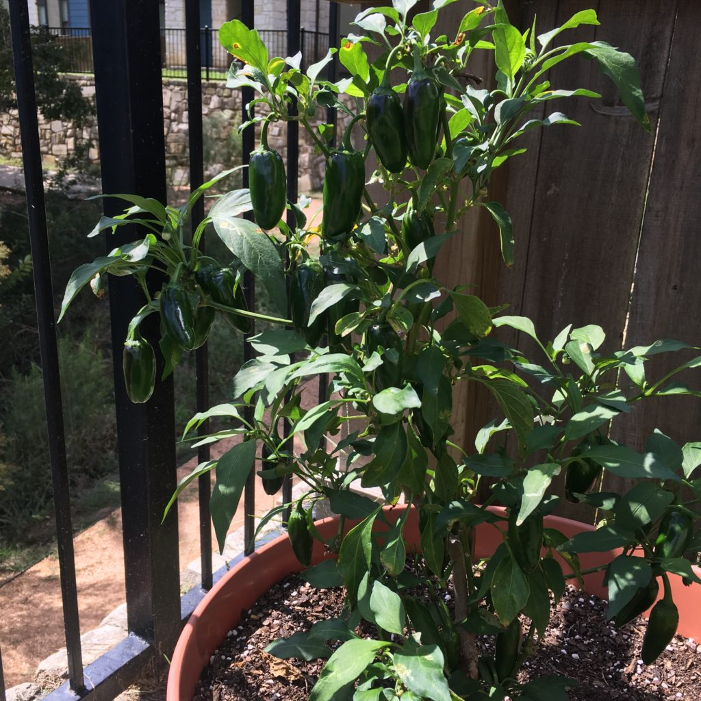 home grown jalapeño plant
