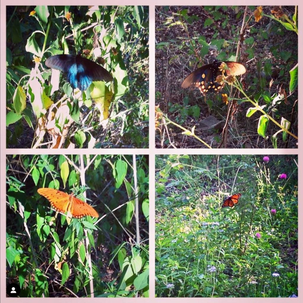 Butterflies at Zilker Botanical Gardens