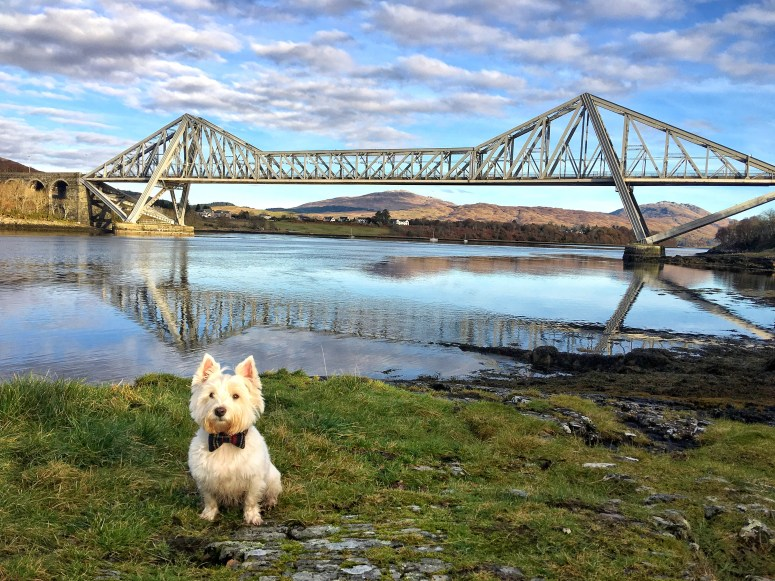 Westie in Scotland
