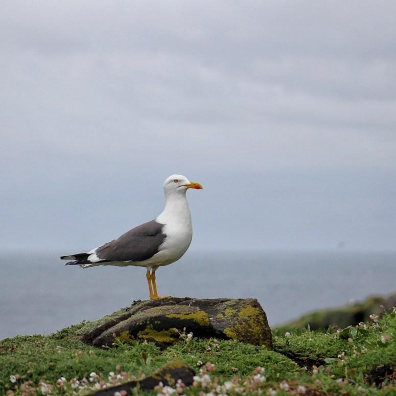 Herring Gull, Isle of May
