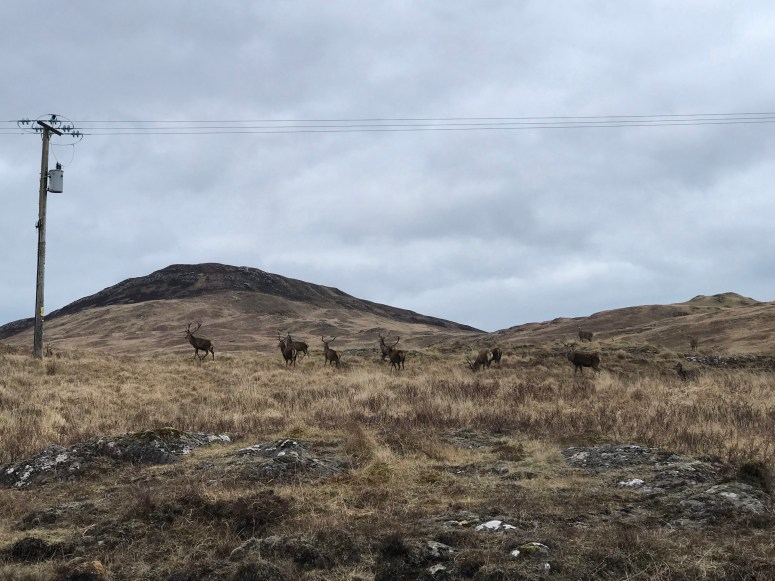 Stags, Ardnamurchan