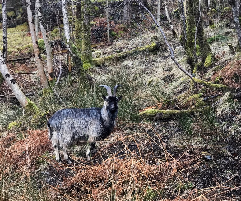 Wild goat, Ardnamurchan