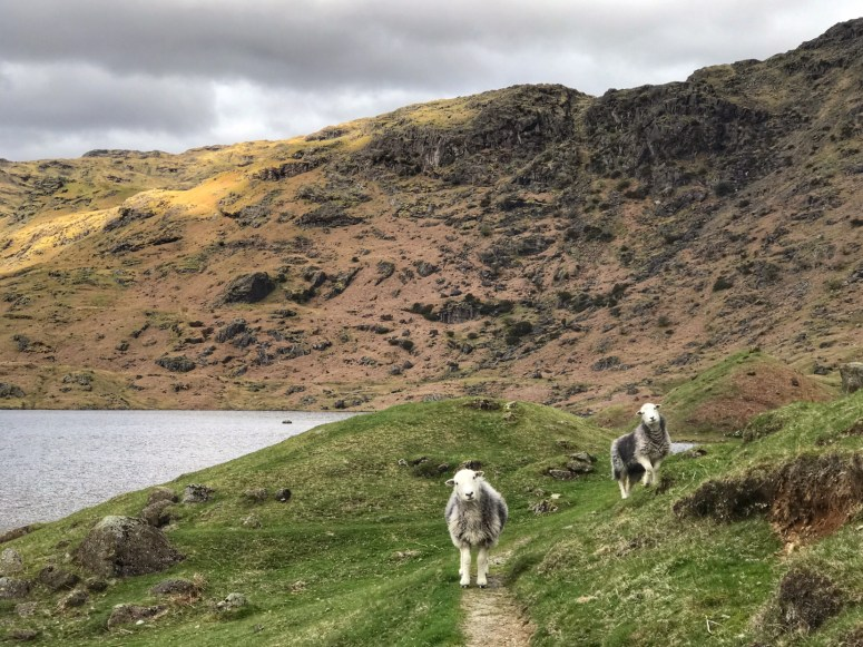 Herdwick sheep, Easdale Tarn