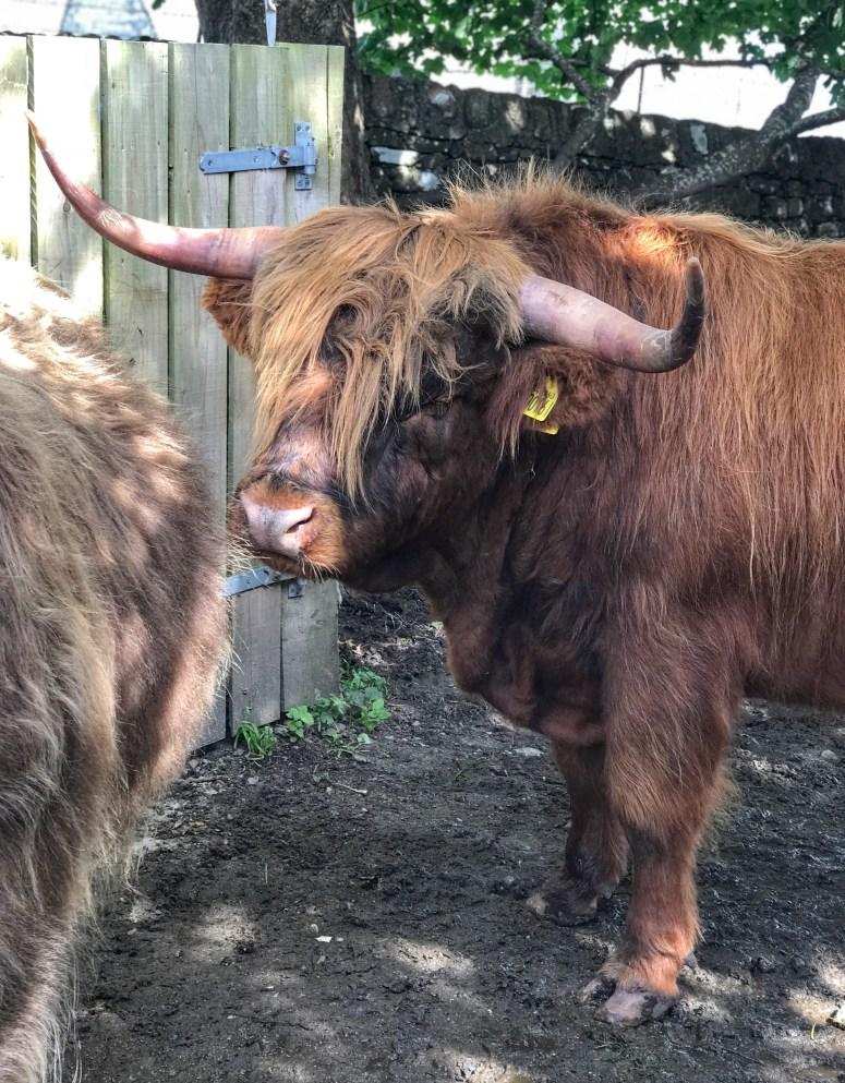 Highland Cow, Isle of Iona