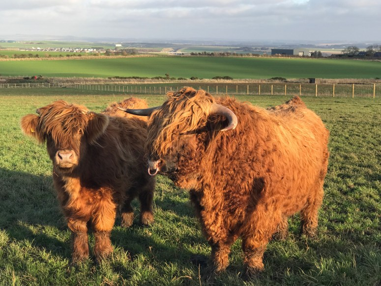 Highland cows, Aikenshill House