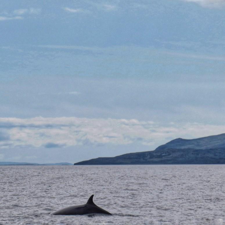 Minke whale Inner Hebrides
