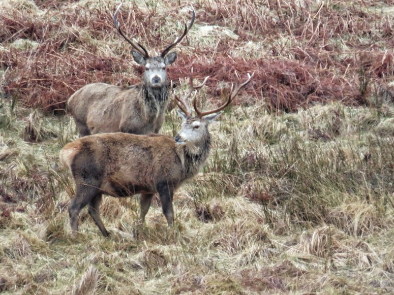 Red deer stags Inchnadamph