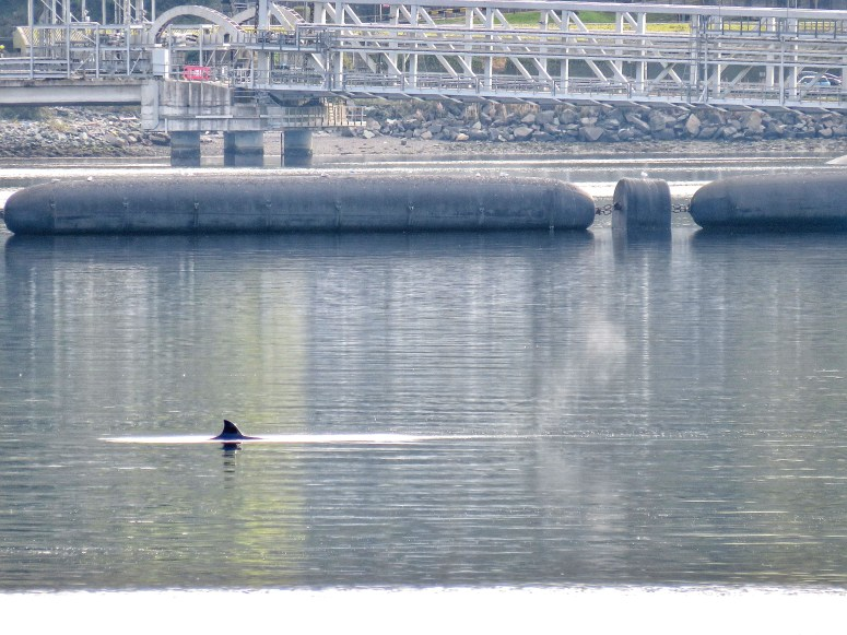 Whale watching Gare Loch, Argyll