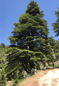 Cedar Tree in Tannourine