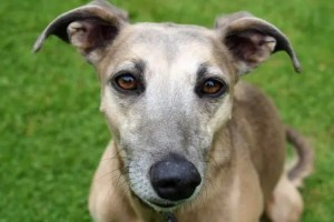 Read more about the article Be the Dog: Lessons I Learned from my Greyhound