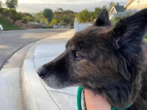 profile of Cooper dog on leash
