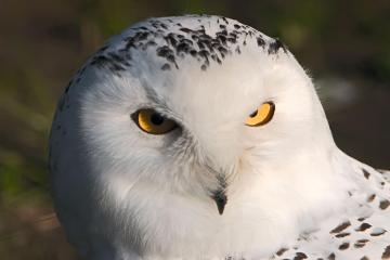 Live camera offers glimpse into the daily life of a Arctic snowy owl