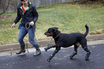 Brutus, a Rottweiler in Colorado, gets prosthetic surgery on all the 4 legs