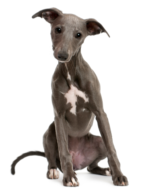 Whippet Puppy with ears cocked