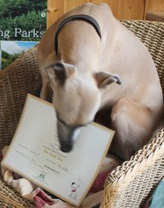 Whippet with paper certificate