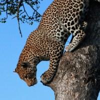 Sabi Sand & Kruger National Park:  4 Nights on South African Safari