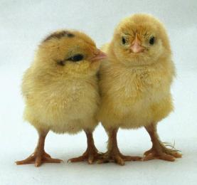two-chickens