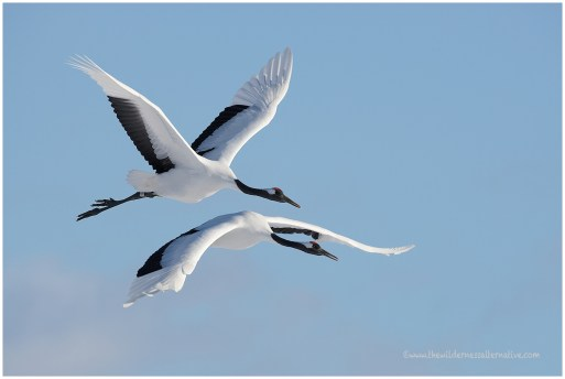 Hokkaido Cranes 1