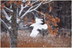 Hokkaido Cranes 14
