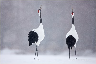 Hokkaido Cranes 16