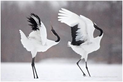 Hokkaido Cranes 17