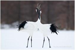 Hokkaido Cranes 3