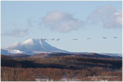Hokkaido Cranes 5