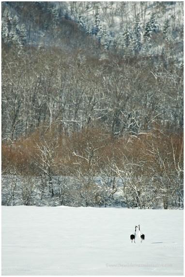 Hokkaido Cranes 9