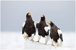 Hokkaido Eagles 15