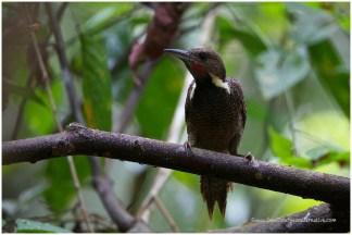 Male Buff-necked Woodpecker