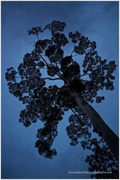 Shorea Tree