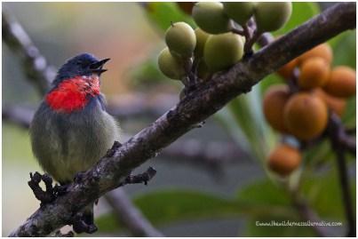 Black-sided Flowerpecker (E)