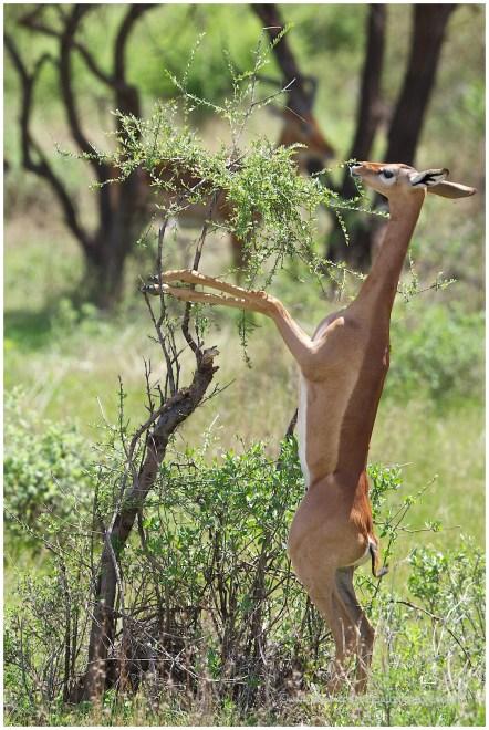 Gerenuk @ Samburu