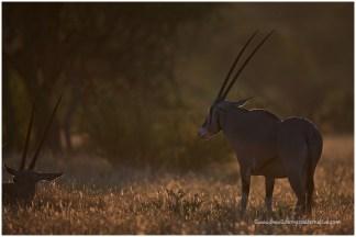 Oryx @ Samburu
