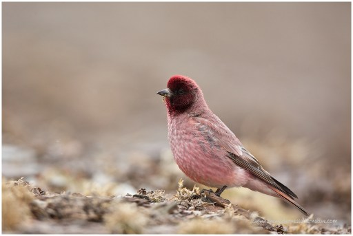 Tibetan Rosefinch (male)