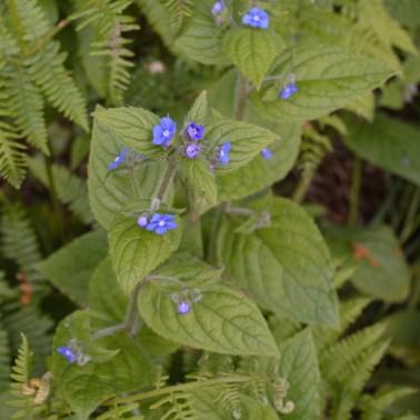 Green Alkanet (Pentaglottis sempervirens)