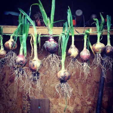Onions drying in my tiny shed
