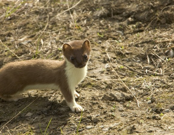short-tailed-weasel-86619_1920.jpg