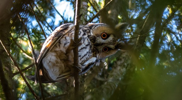 long-eared-owl-2118554_1920.jpg