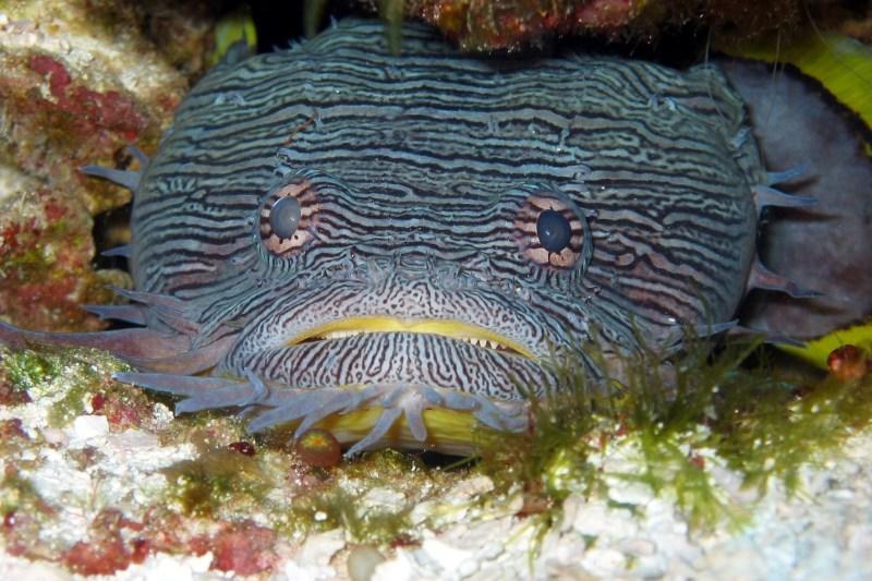 toadfish-387163_1920
