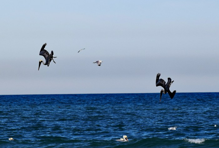 pelicans-1937559_1920.jpg