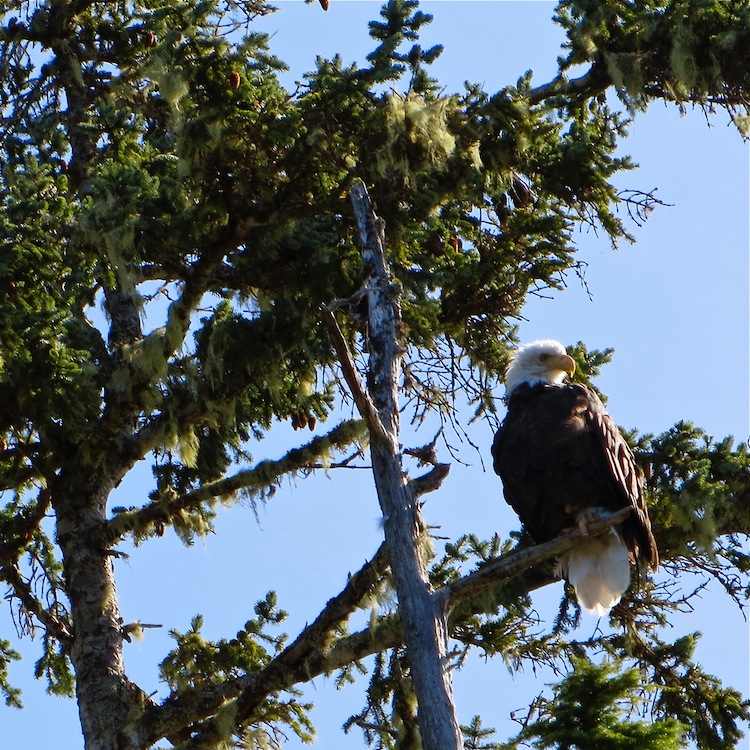 Eagle in Orcas Cove