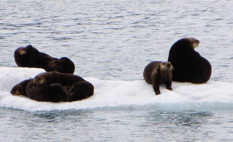 Fur Seals basking on ice floe