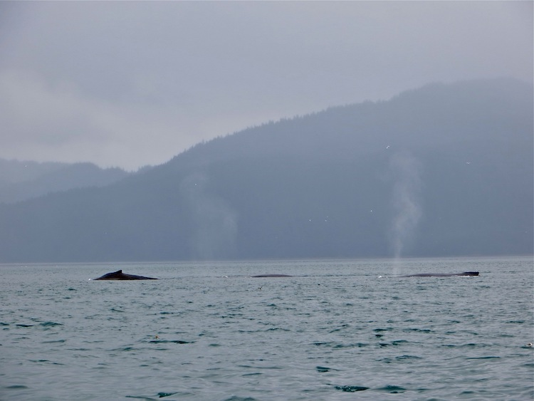 Whales in Icy Strait Point