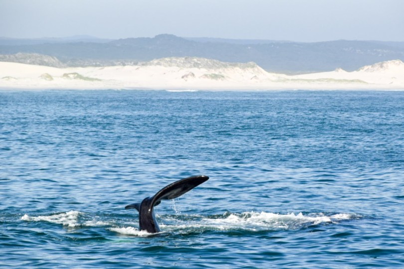Hermanus Whale Watching