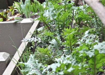 kale in my garden