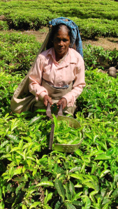 Tea estate worker