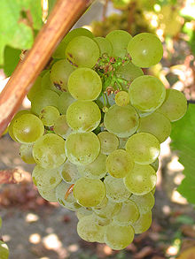Sauvignon Blanc likewise makes itself very at home in San Antonio Valley