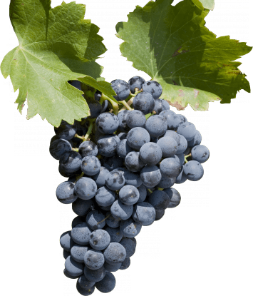 Grenache (above), Syrah and Mourvedre are key